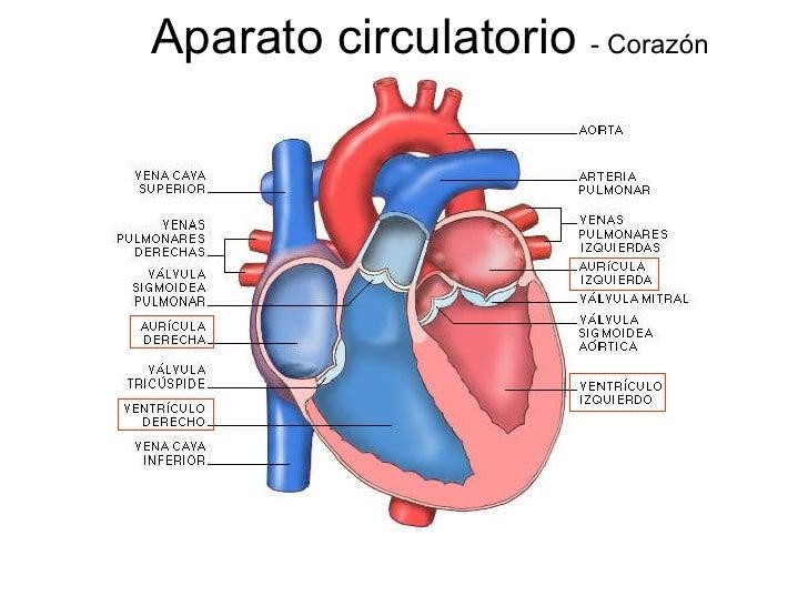 Circuito Circulatorio : Circulatorio silvia