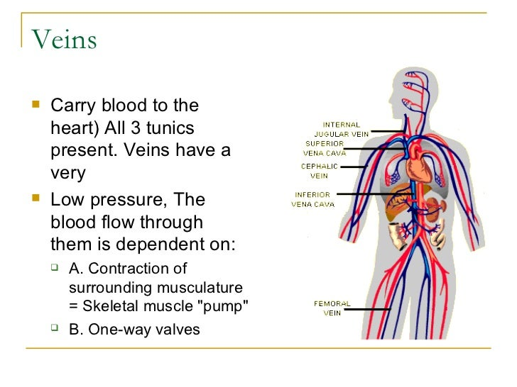what do the veins do in the circulatory system