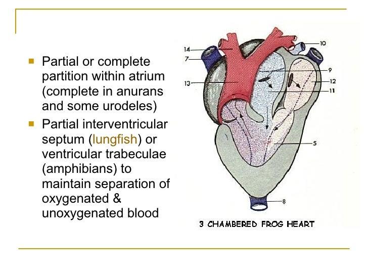 Circulatory System Of The Vertebrates