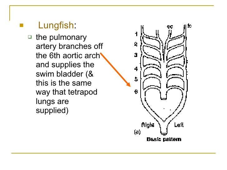 Comparative Anatomy Of Aortic Arches In Vertebrates Project For