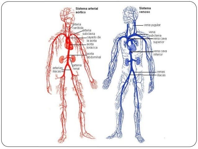 Circulatory and lymphatic systems.