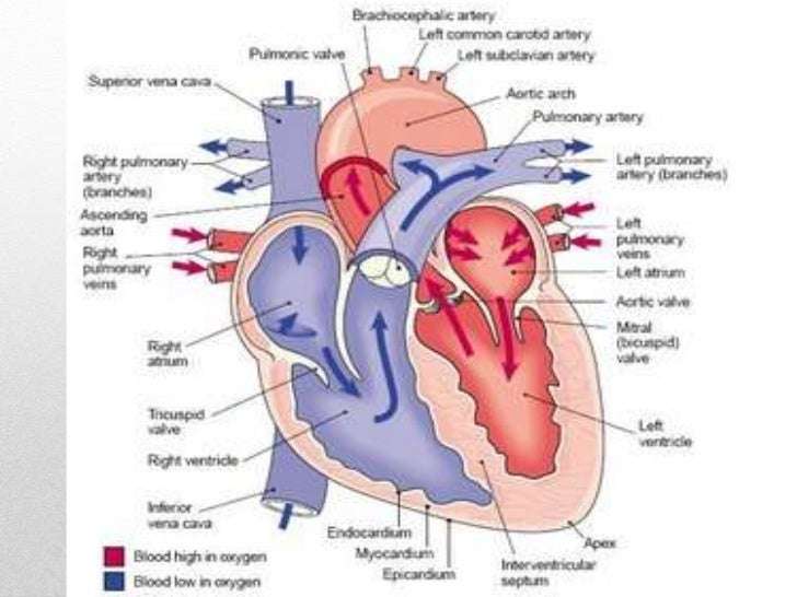 circulatory and respiratory systems, Muscles