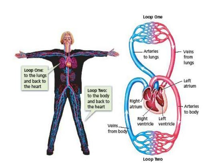 Circulatory system 5 ccuart Choice Image