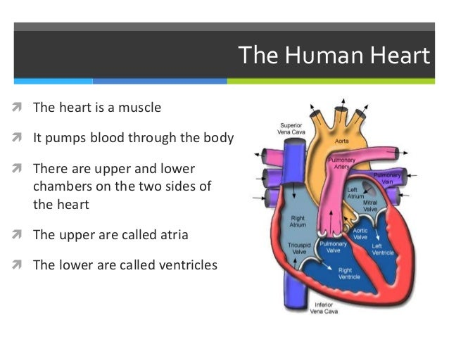 circulatory system notes The circulatory system the heart is a double pump – arteries take blood away  from the heart while veins take blood to the heart the right (left.