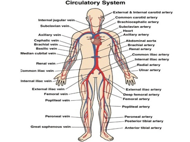 circulatory-system-4-638?cb=1472299125, Cephalic vein