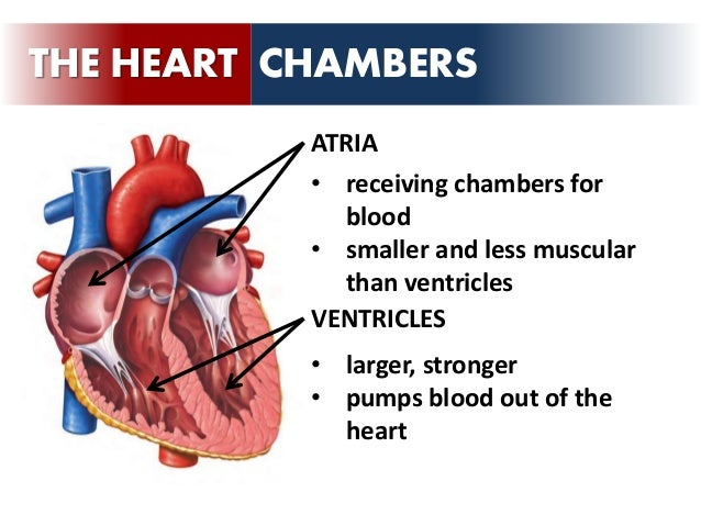 Circulatory system the heart chordae tendineae 13 the heart chambers atria ventricles receiving chambers for blood ccuart Images