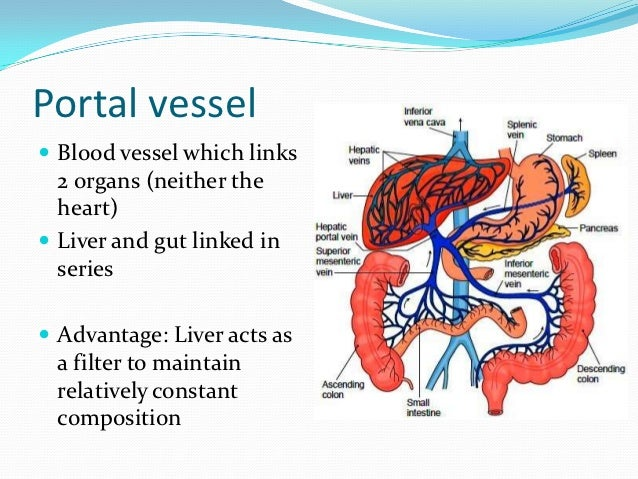Phylum Mollusca 22132135 likewise Circulatory System Blood Vessels And Lymph Fluid likewise Watch in addition Alkaline Water moreover Article12. on function of circulatory system