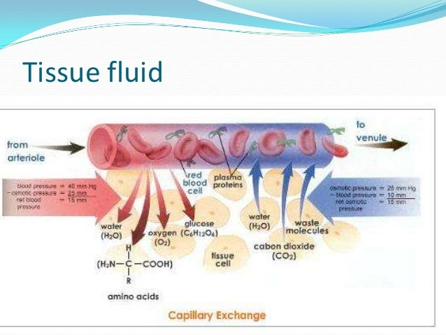 Where does lymph fluid come from?