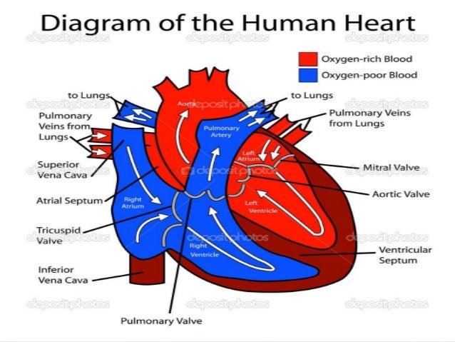 Circulatory system final