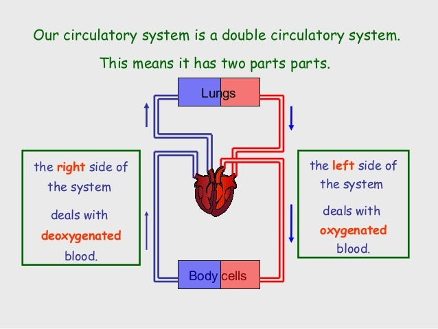 28 Double Circulatory System Diagram Chapter 19 Amp