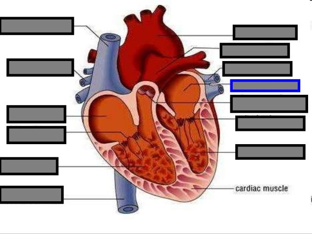 Human Heart Visual Quiz Powerpoint Parts Of The Heart Chambers Cir