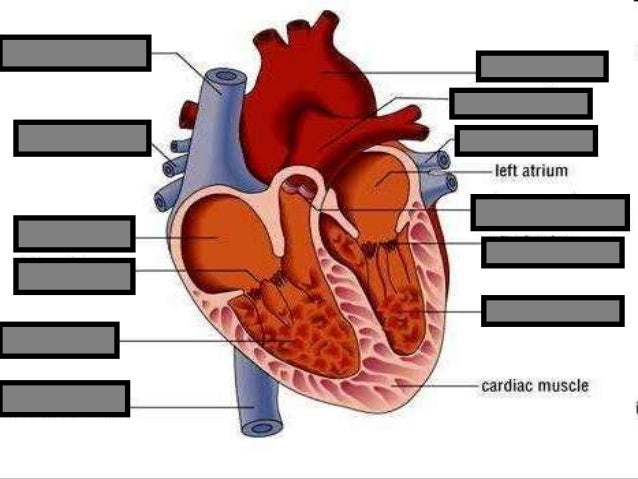 Human heart visual quiz powerpoint parts of the heart chambers cir bonus name the brand ccuart Images