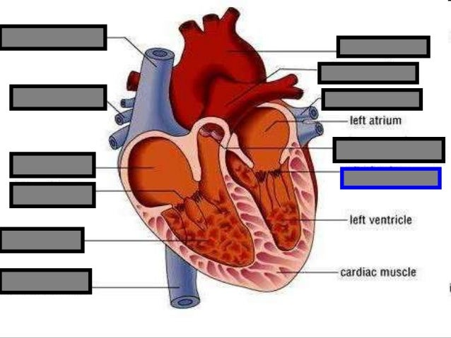 Human heart visual quiz powerpoint parts of the heart chambers cir 2 16 ccuart Image collections