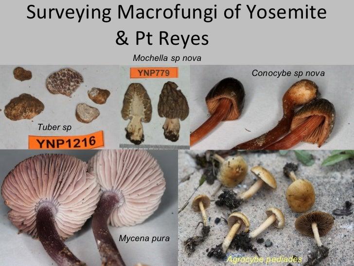Surveying Macrofungi of Yosemite          & Pt Reyes               Mochella sp nova                                       ...