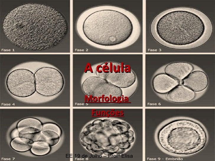 A célula Morfologia  Funções EE 19 de Julho – Profª Elisa