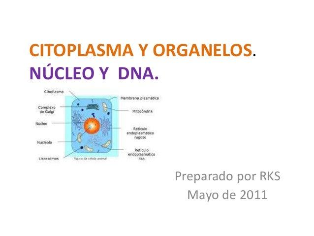 CITOPLASMA Y ORGANELOS. NÚCLEO Y DNA. Preparado por RKS Mayo de 2011