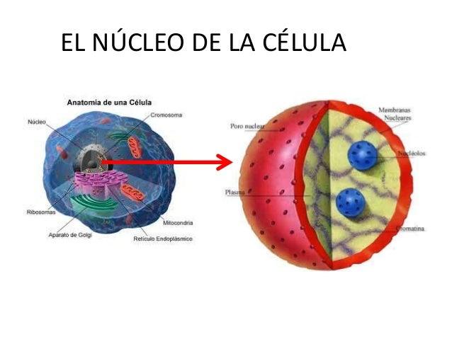 citoplasma y organelos n cleo adn y cromosomas