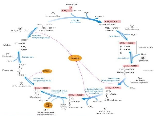 the citric acid cycle The citric acid cycle is a key metabolic pathway that connects carbohydrate, fat, and protein metabolism the reactions of the cycle are carried out by eight enzymes.