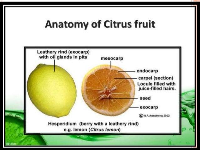 Citrustypeshealth Benefitscommercial Productseconomic Importance
