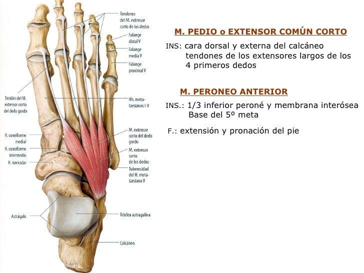 Cixtico poplxteo interno_y_externoxplantares
