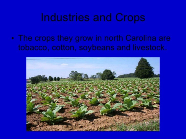 Industries and Crops <ul><li>The crops they grow in north Carolina are tobacco, cotton, soybeans and livestock. </li></ul>