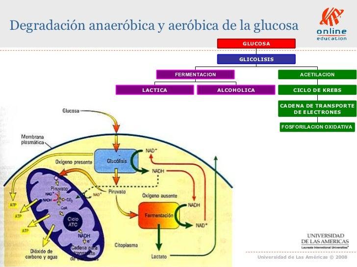 Clase 14 Respiracion Celular Anaerobica Y Aerobica