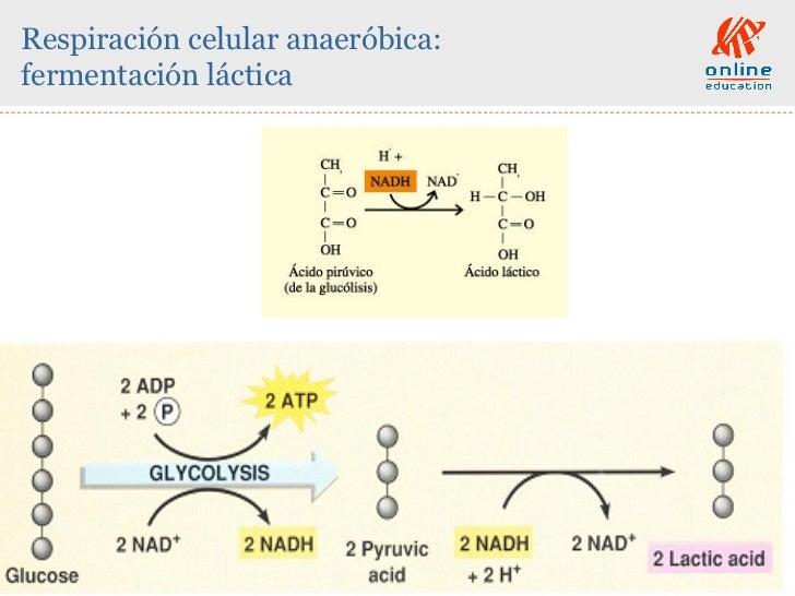 las reacciones anabolicas se caracterizan