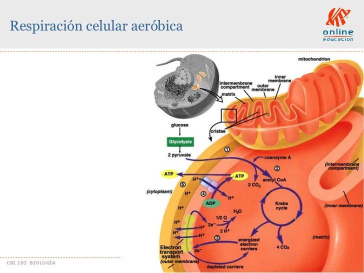 reacciones anabolicas de acidos grasos