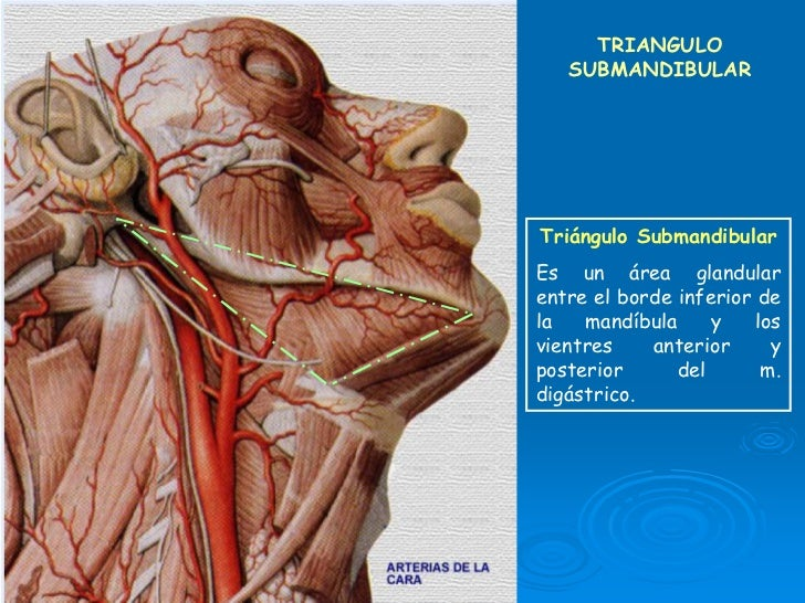 Magnífico Anatomía Región Submandibular Elaboración - Anatomía de ...