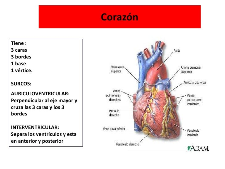 Coraz 243 N Anatom 237 A
