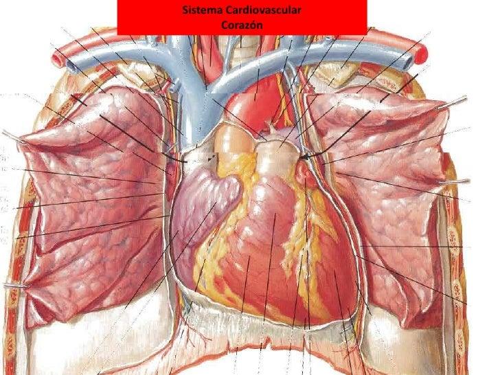 Corazón Anatomía
