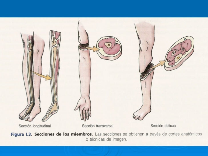 Atractivo Oposición En La Anatomía Inspiración - Anatomía de Las ...