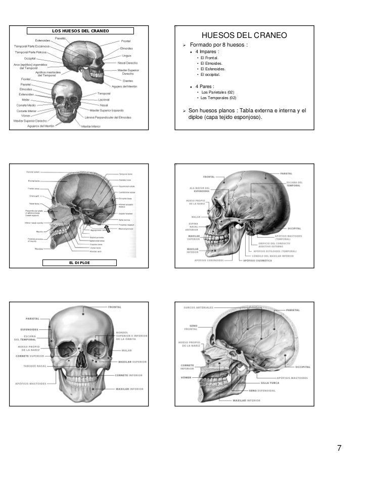 Asombroso Anatomía Y Fisiología Huesos Del Cráneo Fotos - Imágenes ...