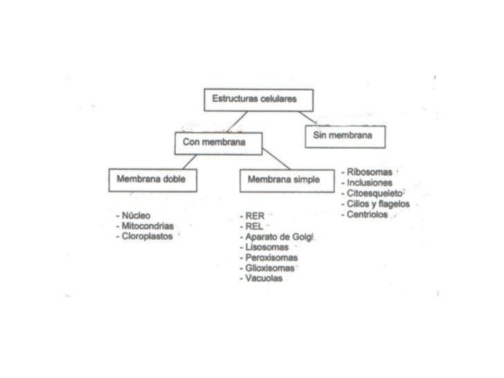 Retículo endoplasmatico:  Red tridimensional de membranas que forman canales o cámaras semicerradas que se comunican entre...