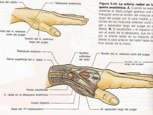 ANATOMIA EXTENSORES DE ANTEBRAZO Y MANO