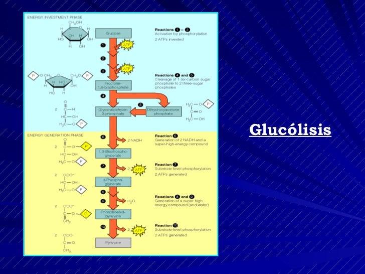 Clase 13 Destinos Del Piruvato Y Gluconeogenesis Slide 2