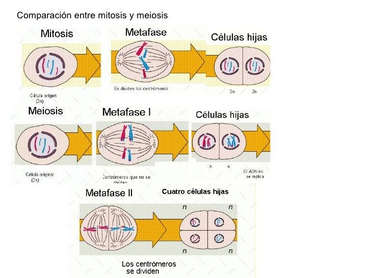 Meiosis - Words | Help Me