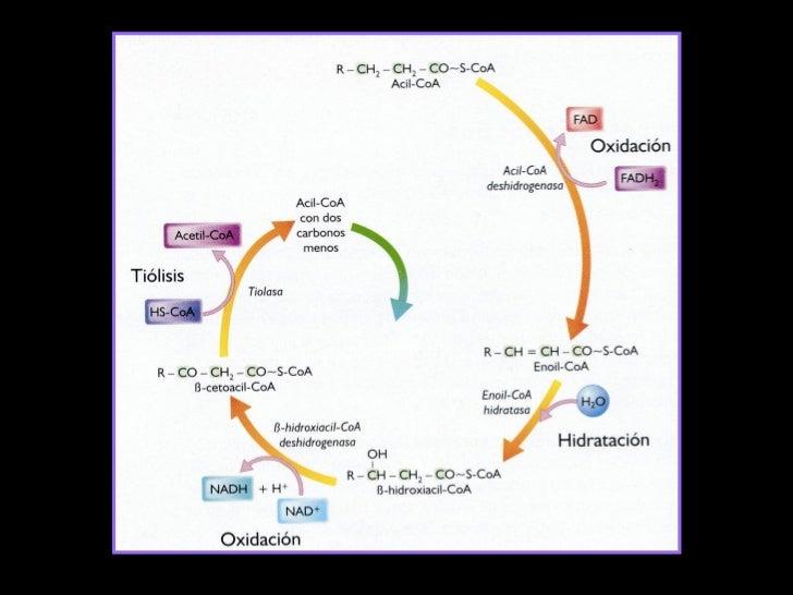 Clase 17 Beta Oxidacion De Acidos Grasos