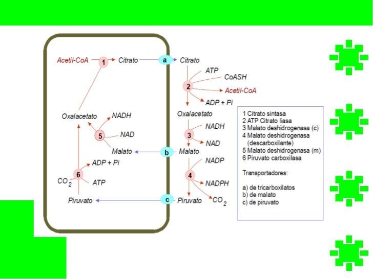 sintesis de esteroides suprarrenales