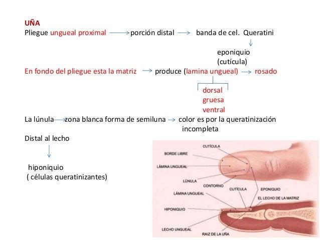 1. anatomía y fisiologia de la piel