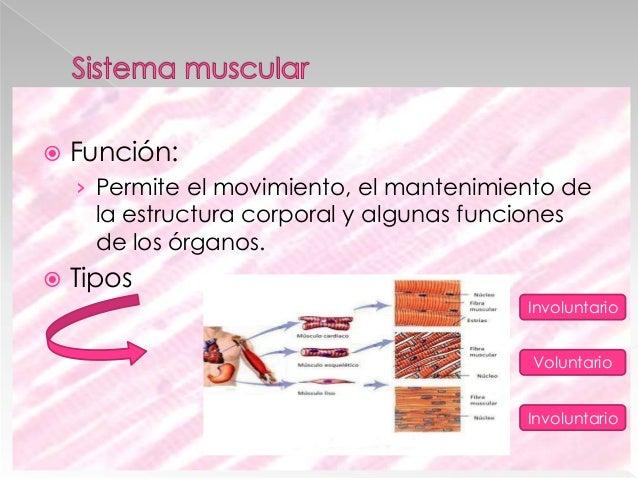  Musculo del tronco y abdomen