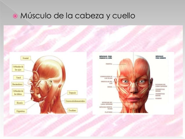  Músculos de extremidad superior e inferior