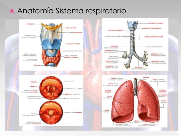  Fisiología de la respiración
