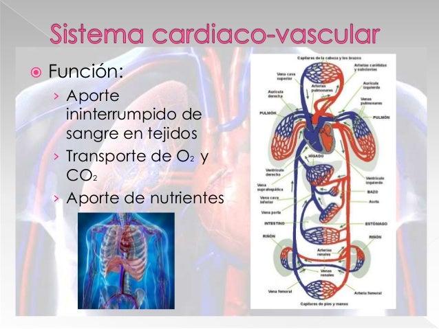  Transporte de sangre › Nutrientes › Oxigeno › Desechos › Sistema Inmune  Estructura › Arterias › Venas › Vasos capilare...