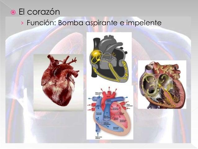  Circuitos sanguíneos › Circuito menor (Pulmonar) › Circuito mayor (Sistémico)