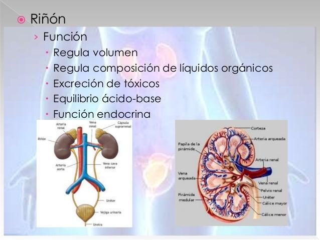  Cavidad Oral › Glándulas › 8 incisivos, 4 caninos, 8 premolares, 12 molares › Fenómeno mecánico › Fenómeno químico  Esó...