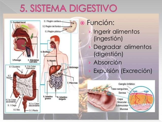  Estómago › Reservorio temporal alimenticio › Degradación del bolo alimenticio→Quimo › Absorción mínima