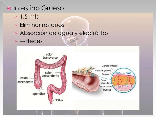  Páncreas › Produce y secreta insulina › Produce y secreta jugo pancreático