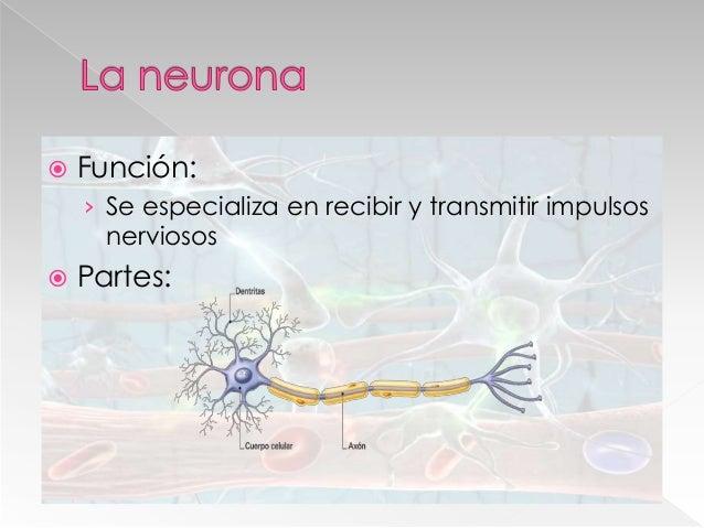  Sinapsis: › Conexión funcional entre dos neuronas, para el traspaso de información.