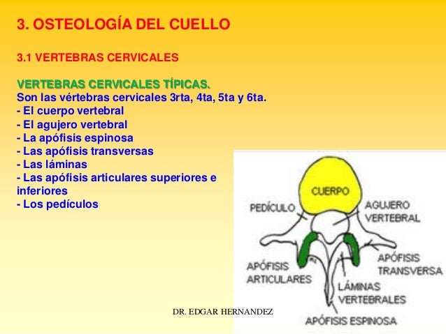 3. OSTEOLOGÍA DEL CUELLO 3.1 VERTEBRAS CERVICALES VERTEBRAS CERVICALES TÍPICAS. Son las vértebras cervicales 3rta, 4ta, 5t...